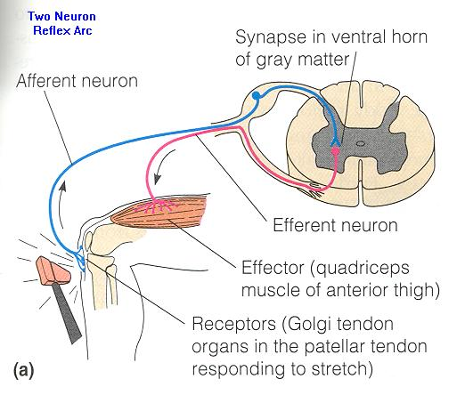 Somatic reflex diagram collection of wiring diagram cot s learning center chiropractic principles rh chiro online com monosynaptic reflex somatic reflex arc diagram ccuart Gallery